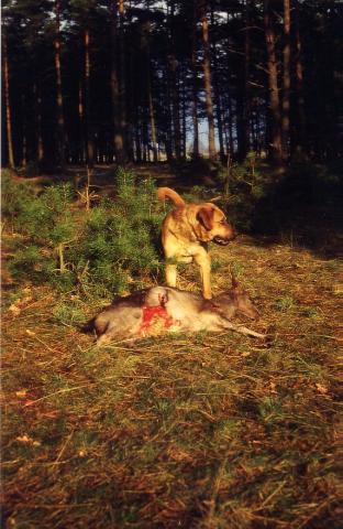 Hund mit gerissenem Reh