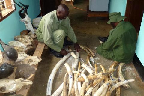beschlagnahmtes Elfenbein Tansania