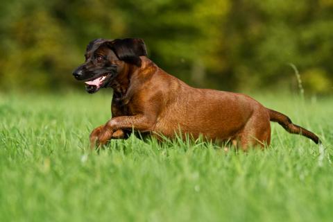 Bayerischer Gebirgsschweißhund_misch-art (1)