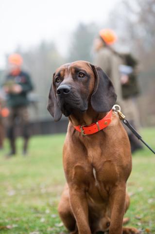 Schweißhunde sind Spezialisten für die Suche von verletztem Wild. Auch nach 48 Stunden riechen sie noch kleinste Blutströpfchen.