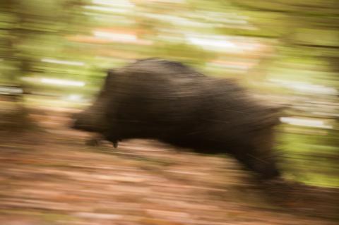 Hochflüchtiges Stück Schwarzwild im Wald