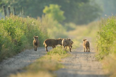 Mehrere Frischlinge auf einem Feldweg