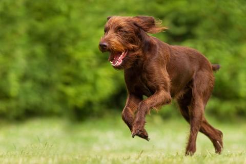 Pudelpointer Vorstehhund_Schlenther