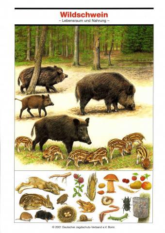Poster Wildschwein