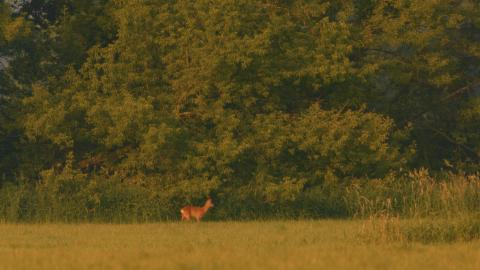 Rehwild DVD Auf der Jagd