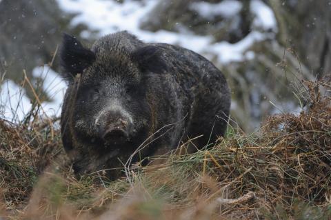 Wildschwein Bache  Winter