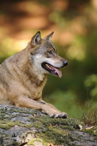 Wolf im Sommer, ruhend