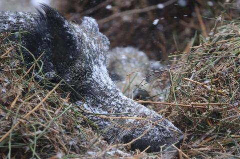 Ein ruhendes Wildschwein im Winter