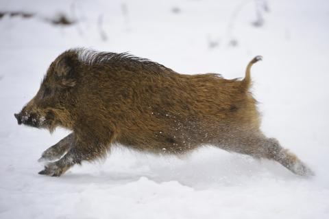 flüchtiger kleiner Überläufer im Schnee