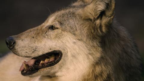 Wolf DVD Auf der Jagd