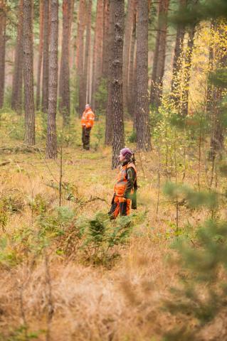 Treiber durchkämmen den Wald