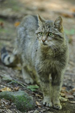 Wildkatze in der Natur
