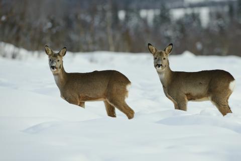 Ricke und Bock im Schnee