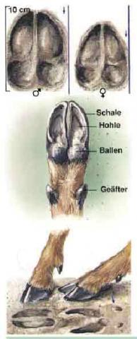 Zeichnung Schalen Rehwild