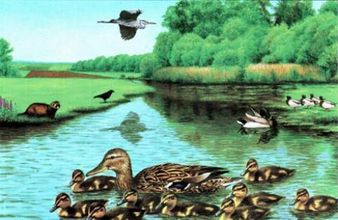 Zeichnung von Stockenten auf Wasser- Lernort Natur Poster