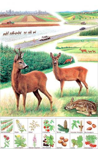 Gezeichnetes Poster vom Rehwild